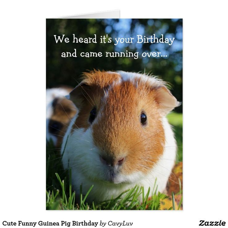 Pin On Guinea Pig Lovers Group Board