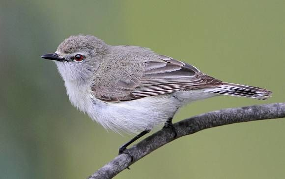 Western Gerygone | BirdLife Australia