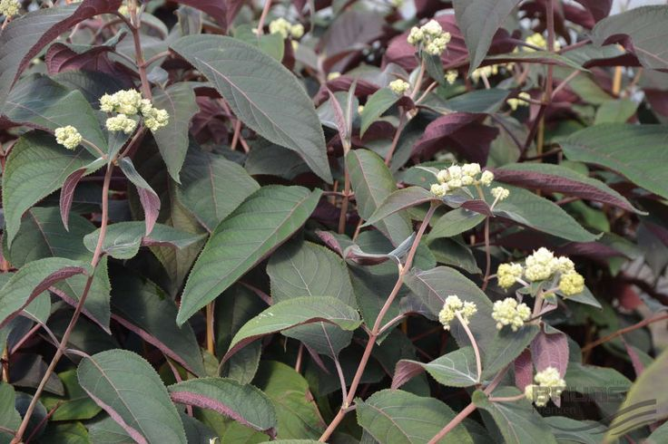 17 best images about shrubs bushes on pinterest white flowers silver anniversary and shrubs. Black Bedroom Furniture Sets. Home Design Ideas