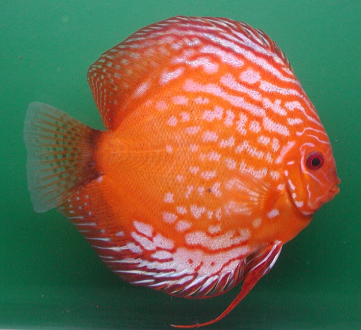 Diskusfisch pigeon blood fische pinterest discus for Live discus fish for sale