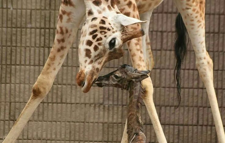 Adorable Rothschild Giraffes welcomed a beautiful Giraffe calf , after about a 15-month gestation period at the Belfast Zoo via Zoo Borns's Facebook Page!