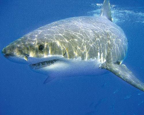 The biggest fish book biggest types of sharks in the for Great white shark fishing