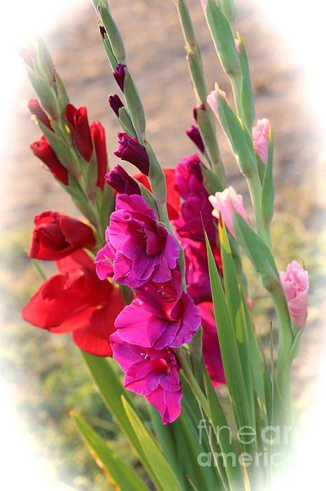 """Gladiolus Bouquet"" by Carol Groenen #gladiolus #flowers #carolgroenenflorals"