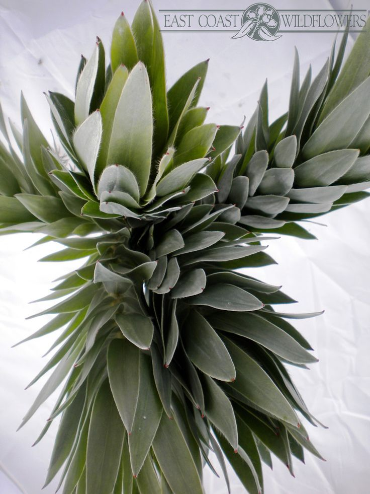 SILVERTREE - available Jun-Sept. Gorgeous full foliage, feels like velvet, silver grey, beautiful with vintage wedding flowers or for creative floristry