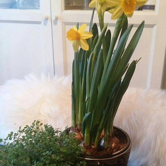 KOTI&SISUSTUS. Info, Vinkkejä BLOGISSA....Ihanat kevään Kukat&Kasvit..Minä Tykkään, naitin ja viihdyn Kukkoen ja kasvien ja SISUSTUKSEN parissa. Sinä? Ihanaa aikaa kun KEVÄT tulee...Minu KEITTIÖ Ruukkunarsessi&KodinOnni. HYMY #koti #sisustus #blogilates #sisustusjuttuja #sisustusblogifi #kukatpiristääaina #kukat #ruukkukukat #narsessit #kevät #kevättäkohti #tykkään 🌷🌹🔑💒💡🎭❤☺🌞🔝👀