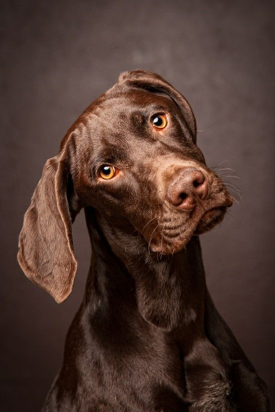 Chocolate love is a beautiful German short-haired pointer ...