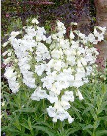 Penstemon galane 39 white bedder 39 floraison de juillet for Fleurs blanches vivaces