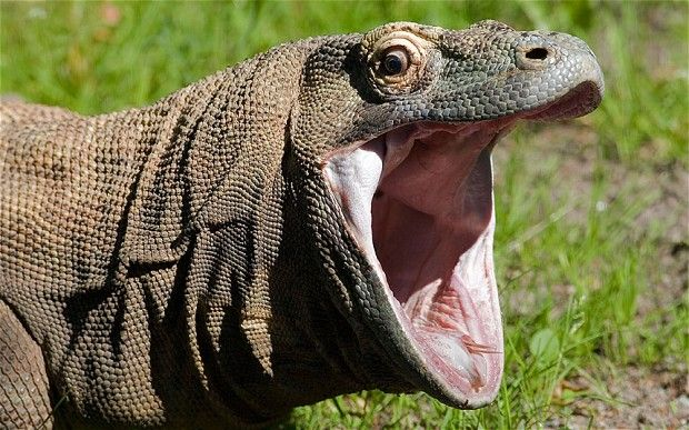 Indonesian woman, 83, fights off Komodo dragon attack with a broom ...