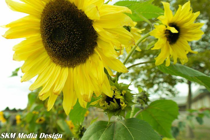 Sunflowers still growing strong #garden #nature # Sunflower #yellow #sunshine #fall #autumn #ilovesun ##flowerstagram #_international_flowers_ #flowerpower #blumen #blossom #flowerslovers #flowerstalking #garden #mygardenflowers #wildflowers #mygarden #instaflower