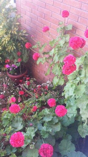 Los geranios del jardín. ...los amo