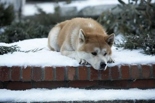"This movie and story, Hachi or, Hachiko, is exactly why I want an Akita. Such a touching movie :""("