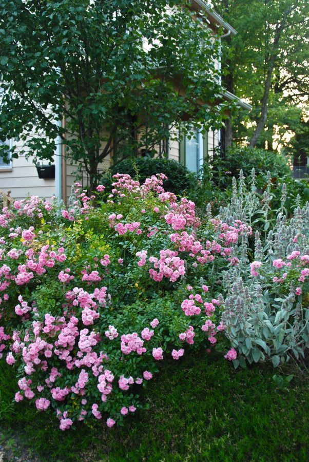 U0027The Fairyu0027 Rose In The Hill Garden, Perfect Cottage Garden ~~ These Are  Easy To Grow And Are Delightful Tiny Roses.   If Happy In Its Space And  Left To ...