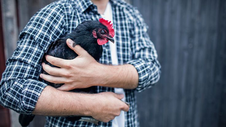 The recent chicken renaissance continues to gather momentum, and coops are becoming common in urban and suburban back yards. Know Everything About Raising Backyard Chickens: http://bit.ly/2ehaNE6  #breeds #chicken #eggs #raisingchickens #feed #organicfeed #tbt #ThursdayThoughts