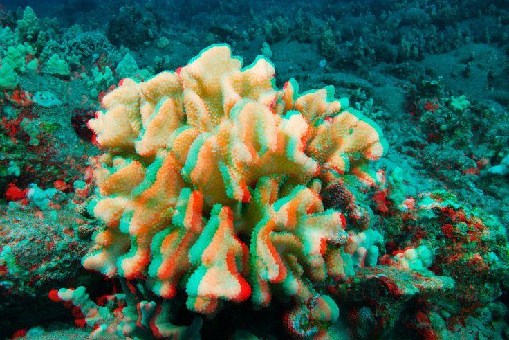 Cauliflower coral in 3D, Hawaii