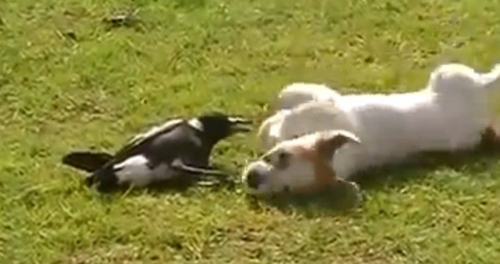 A Dog and a Magpie Playing Together?  The Cute Animal Video of the Day!!!  ... from PetsLady.com ... The FUN site for Animal Lovers