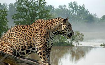 Panthera Onca: de jaguar in Suriname