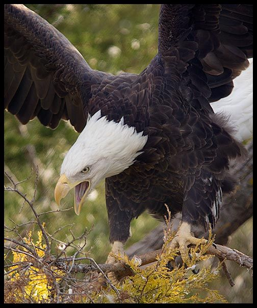 """Visual #BibleVerseoftheDay: Psalm 103:5-6 and a Bald Eagle, Sarpy County, Nebraska.  """"Who satisfies your years with good things, so that your youth is renewed like the eagle.…"""" CLICK THE PHOTO for the complete passage. https://visualverse.thecreationspeaks.com/renew-us-oh-lord/"""