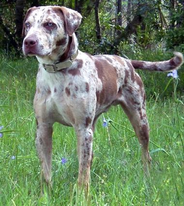 Catahoula Leopard Dog. I want this dog!!!!!! They are almost like a littler Great Dane