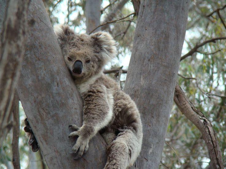 Koala - Melbourne