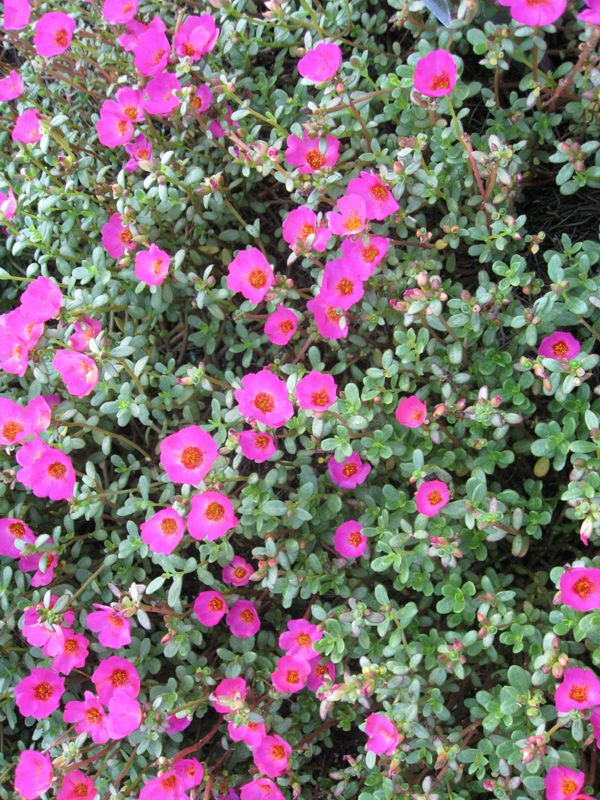 17 Best Images About Portulaca Moss Rose On Pinterest