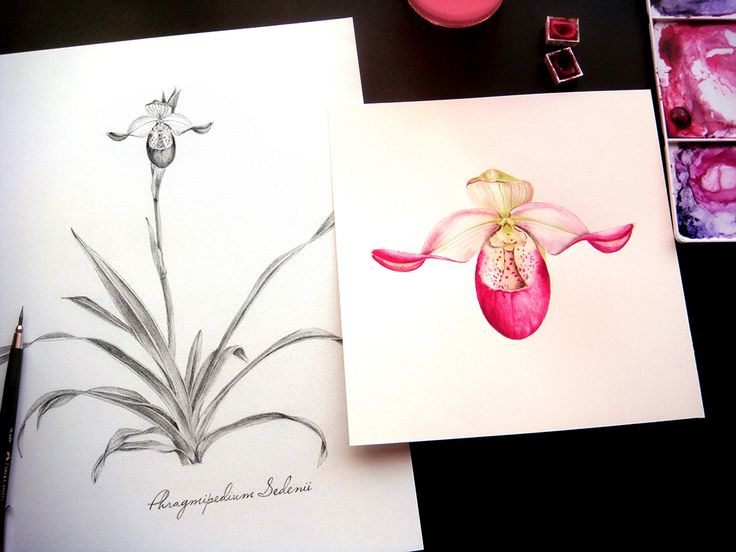 Phragmipedium Sedenii (Slipper Orchid) by Alina Draguceanu  Watercolour and pencil on paper.
