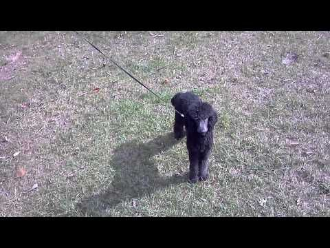 Dog Trolley with Flexi Leash - YouTube