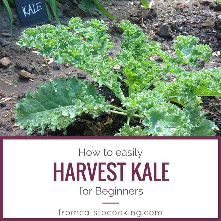 Great DIY on how to harvest Kale from your garden! Love this stuff in a salad