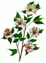 The Pacific dogwood has been British Columbia's floral emblem since 1956. These big, white flowers bloom on tall trees in April and May.