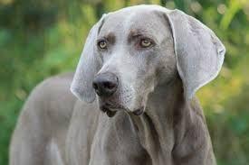 Bildergebnis für deutscher wachtelhund kurzhaar