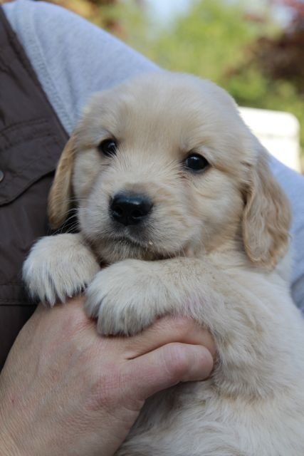 Kiwi 5 1 2 Week Old Golden Retriever Golden Retriever Old Golden Retriever Best Dogs For Families