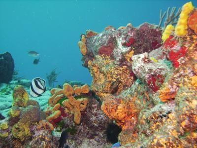 Scuba diving the gorgeous reefs at John Pennekamp's State Park ~ Key Largo (Florida Keys)