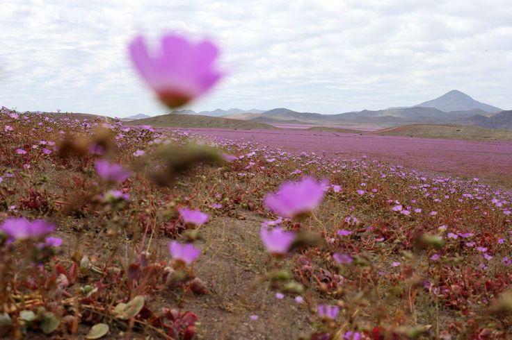 Fotos: El desierto de Atacama florece
