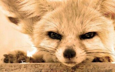 Best 25 fennec fox ideas on pinterest fennic fox pet - Pagina da colorare fennec fox ...