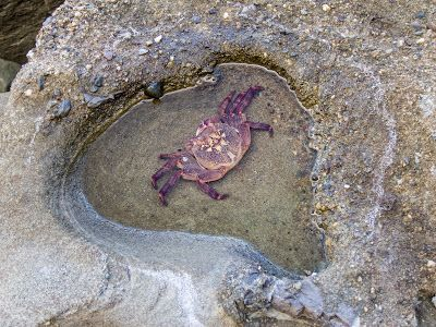 A wee crab enjoying his private pool - Otford to Figure 8 Pools Circuit, Royal National Park