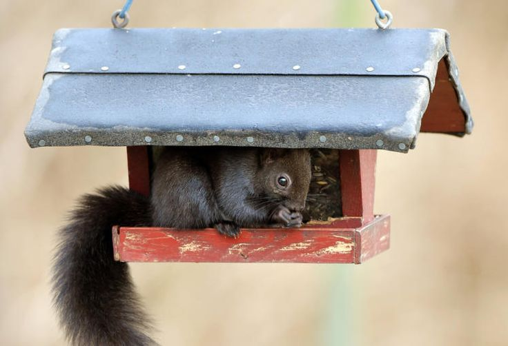 Futterparadies: Dass es sich bei der Futterstelle um ein Vogel-Häuschen und nicht um einen Eichhörnchen-Unterschlupf handelt scheint diesem keinen Kerl herzlich egal zu sein. Frech frisst er seinen gefiederten Freunden seelenruhig die Sonnenblumenkerne weg. Mehr Bilder des Tages: http://www.nachrichten.at/nachrichten/bilder_des_tages/ (Bild: dpa)