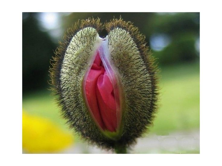 Vulva Blumensamen