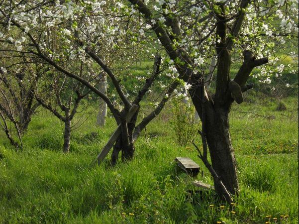 Drzewa owocowe wpisują się w naturalny polski krajobraz