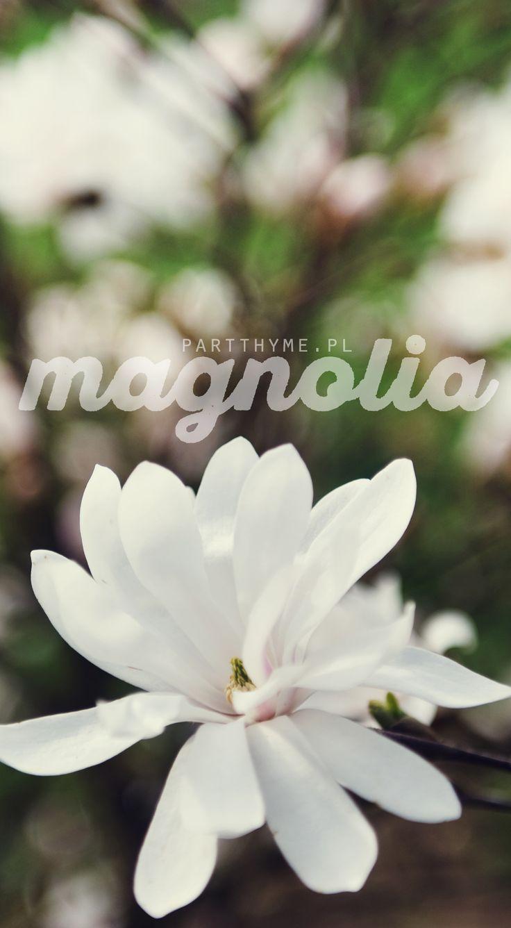 Kwiecień - kwitnąca #magnolia