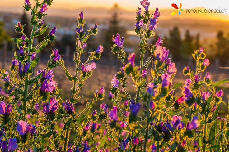 Purple Flowers with Sunset
