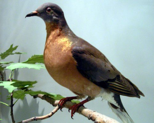 Passenger pigeon was actually the most common bird in North America as recently as 200 years ago, and some reports counted single flocks numbering in the billions. So what happened?  The pigeon meat was commercialized and sold as cheap food. In 1896, the final flock of 250,000 were killed by a group of hunters who actually knew that it was the last flock of that size in existence. Not a single bird was left behind.