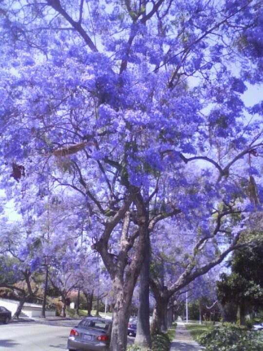 37 Best Jacaranda Tree Images On Pinterest