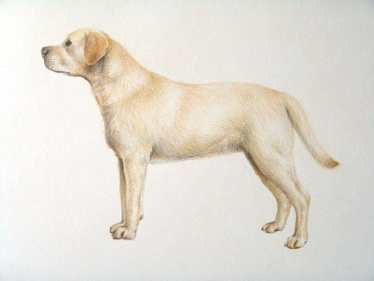 Labrador - Lápices de colores - 43 x 30 cms