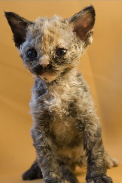 devon rex here are some pictures of our adorable devon rex - #teacupcatbreeds - Different type of Tiny Cat Breeds at Catsincare.com