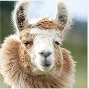 """Which """"Napoleon Dynamite"""" Character Are You I'm Tina the llama"""