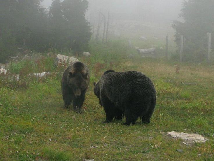 Bears on Grouse Mountain