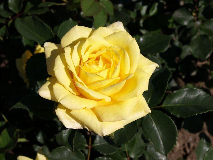 Bella Renaissance. Utmärkt blomning. 0,6-1,2 m. Doftande.