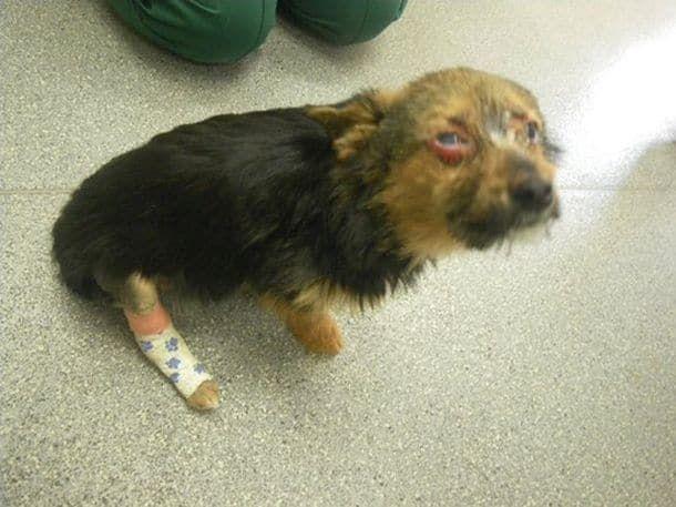 Chunky, un chihuahua croisé, a subi d'affreuses tortures aux mains de quatre adolescents. Cette photo a été prise peu de temps après qu'il ait été retrouvé. Les vétérinaires pensaient tout d'abord qu'il était mort.