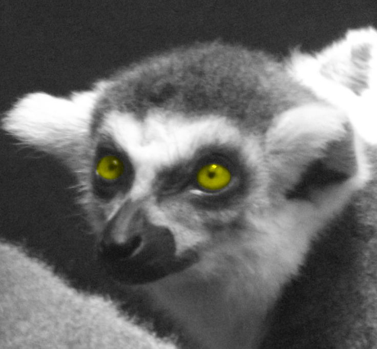 a damn lemur