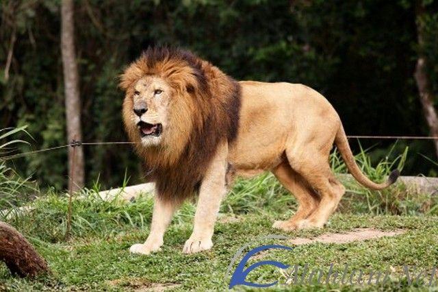 تفسير حلم الاسد في المنام للعصيمي الأسد في المنام الاسد الاسد في الحلم الاسد في المنام Animals Lion Pictures Animal Humor Dog