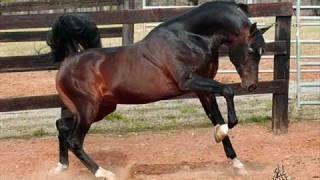 arabian horse tribute - YouTube
